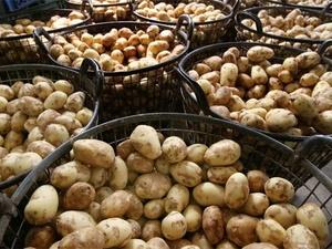 По производству картофеля Нижегородская область заняла третье место в ПФО