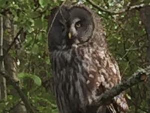 Исчезающий вид сов распознали в птице, обнаруженной в Навашинском заказнике