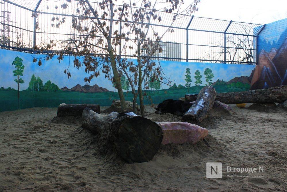 Одноглазая медведица Даша, которая переехала из нижегородского «Мишутки», умерла - фото 1