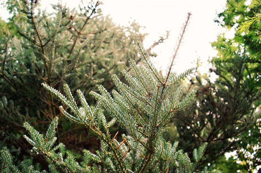 Почему елки нельзя сажать у себя на участке - фото 1