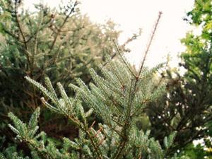 Почему елки нельзя сажать у себя на участке