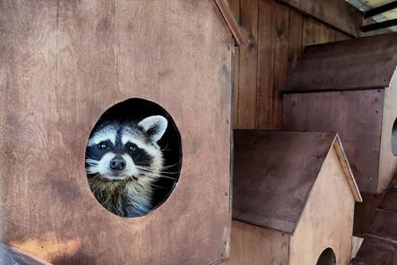 Пять енотов из «Мишутки» переехали в балахнинский зоопарк