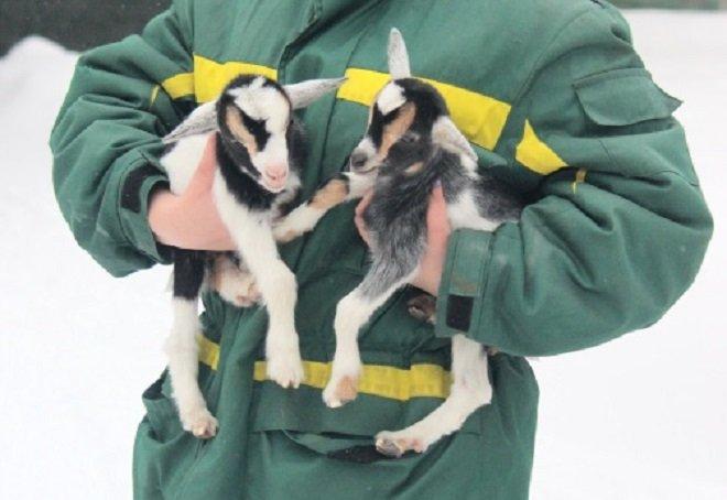 Нигерийские козлята появились на свет в нижегородском «Лимпопо» - фото 1