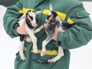 Нигерийские козлята появились на свет в нижегородском «Лимпопо»