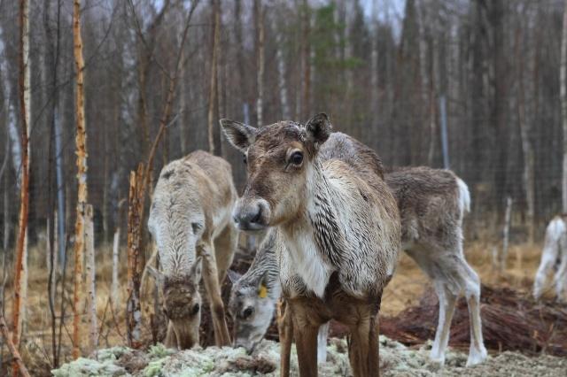 Группу из пяти северных оленей выпустят в Керженском заповеднике  - фото 1